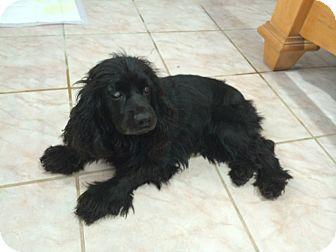 "Cocker Spaniel Dog for adoption in McAllen, Texas - ""I am a princess"" Beauty"