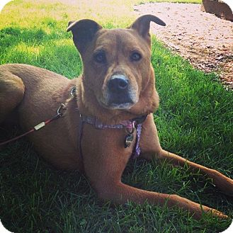 Chow Chow Mix Dog for adoption in West Allis, Wisconsin - **Courtesy Cupid** Gracie Mae