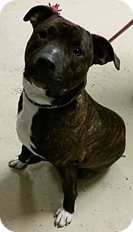 American Pit Bull Terrier Mix Dog for adoption in Struthers, Ohio - Rocky  10 MTHS OLD