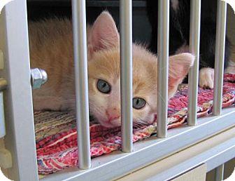 Domestic Shorthair Kitten for adoption in Port St. Joe, Florida - Sawyer