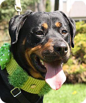 Rottweiler Mix Dog for adoption in Jackson, Michigan - Rocky