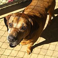 Hound (Unknown Type) Mix Dog for adoption in Nashville, Georgia - Elvis