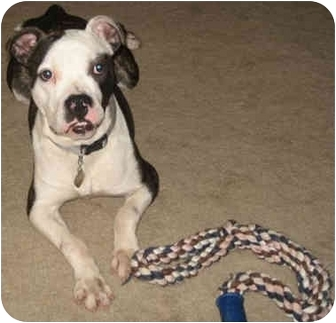 Boxer/Bulldog Mix Puppy for adoption in Middlesex, New Jersey - Brumbles