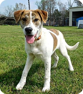 Catahoula Leopard Dog Mix Puppy for adoption in St. Francisville, Louisiana - Bolt