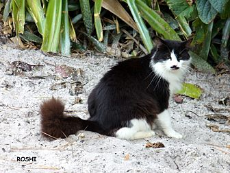 Domestic Longhair Cat for adoption in Naples, Florida - Roshi