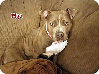 American Pit Bull Terrier Dog for adoption in Cary, Illinois - Mya