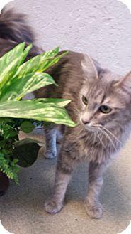 Calico Cat for adoption in Phoenix, Arizona - Sophie