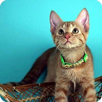 Domestic Shorthair Kitten for adoption in Columbia, Illinois - Glenn