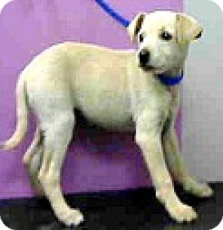 Jack Russell Terrier/Fox Terrier (Smooth) Mix Puppy for adoption in Boulder, Colorado - Layla-ADOPTION PENDING