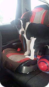 Border Collie/Labrador Retriever Mix Dog for adoption in Austin, Texas - Hayley