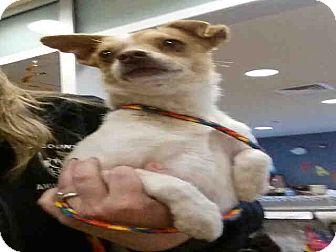 Chihuahua Mix Dog for adoption in West Valley, Utah - Chief