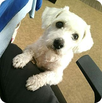Maltese Mix Dog for adoption in Ft Collins, Colorado - Dash