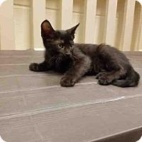 Domestic Shorthair Kitten for adoption in St. Cloud, Florida - Kal