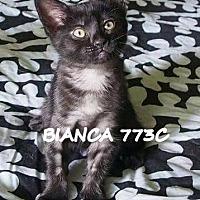 Adopt A Pet :: Bianca - Spring, TX