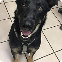 Adopt A Pet :: Duke - Joplin, MO