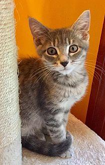 Domestic Shorthair Kitten for adoption in Burlington, North Carolina - HALLEY