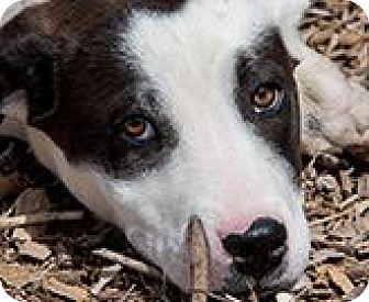 Labrador Retriever Mix Puppy for adoption in Corrales, New Mexico - Dizzy
