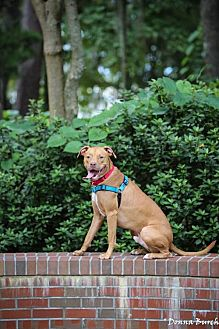 Pit Bull Terrier Mix Dog for adoption in Gainesville, Florida - Ned