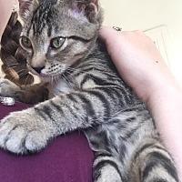 Domestic Shorthair Cat for adoption in Santa Rosa, California - Kitten Tiger