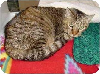 Domestic Shorthair Cat for adoption in Walker, Michigan - Fajita
