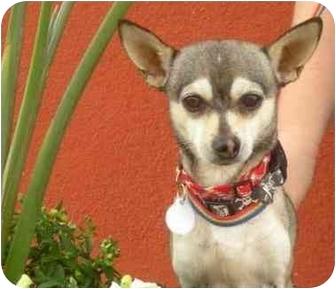 Chihuahua Dog for adoption in Palmdale, California - Blazey