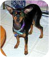 Miniature Pinscher Mix Dog for adoption in Florissant, Missouri - Tina
