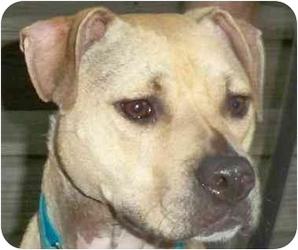 American Pit Bull Terrier Mix Dog for adoption in kennebunkport, Maine - Baxter - Foster Need - Help!