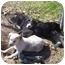 Photo 2 - Terrier (Unknown Type, Medium)/Hound (Unknown Type) Mix Puppy for adoption in White Plains, New York - Pershia