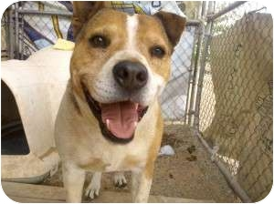 Pit Bull Terrier/Shepherd (Unknown Type) Mix Dog for adoption in Acton, California - Ernie