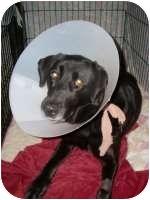 Labrador Retriever Mix Dog for adoption in Torrance, California - CeeCee