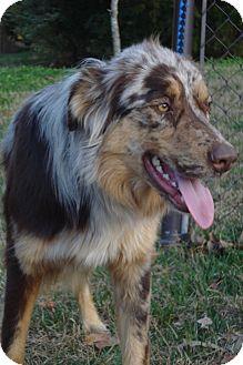 Australian Shepherd Dog for adoption in ROCKMART, Georgia - RED DAWN