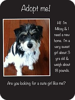 Schnauzer (Miniature)/Terrier (Unknown Type, Small) Mix Dog for adoption in Baton Rouge, Louisiana - Mikey