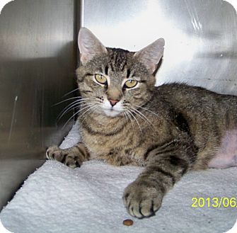 Hemingway/Polydactyl Cat for adoption in Dover, Ohio - Ms. Hemingway