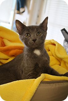 Domestic Shorthair Kitten for adoption in Knoxville, Tennessee - Thatcher