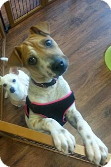 Jack Russell Terrier/Shar Pei Mix Puppy for adoption in Phoenix, Arizona - Lily