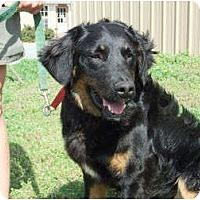 Adopt A Pet :: Oats - Denver, CO