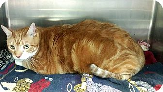 Domestic Shorthair Cat for adoption in Union, New Jersey - Gozilla