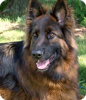 German Shepherd Dog Dog for adoption in Wayland, Massachusetts - Cane