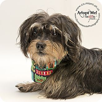 Dachshund/Yorkie, Yorkshire Terrier Mix Dog for adoption in Troy, Ohio - Andy