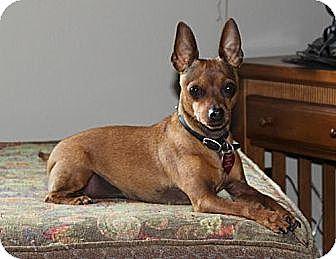 Miniature Pinscher Mix Dog for adoption in Simi Valley, California - Razz