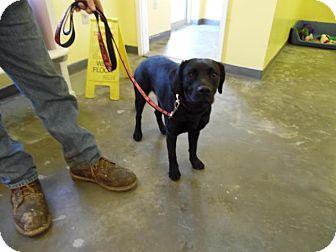 Labrador Retriever/Beagle Mix Dog for adoption in Baltimore, Maryland - Peeper