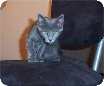 Domestic Shorthair Kitten for adoption in Ortonville, Michigan - Ashley