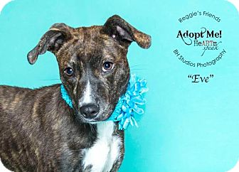Catahoula Leopard Dog Mix Dog for adoption in Conroe, Texas - Eve