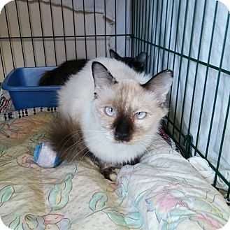 Siamese Cat for adoption in Divide, Colorado - Spice