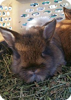 Lionhead Mix for adoption in Ogden, Utah - Clover