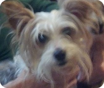 Yorkie, Yorkshire Terrier/Papillon Mix Dog for adoption in Spring Valley, New York - Chablis