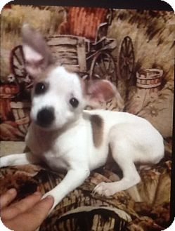 Chihuahua/Yorkie, Yorkshire Terrier Mix Puppy for adoption in springtown, Texas - Minnie