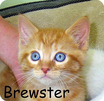 Domestic Shorthair Kitten for adoption in Warren, Pennsylvania - Brewster