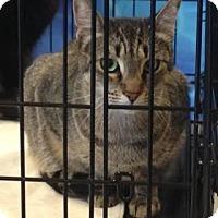 Domestic Shorthair Cat for adoption in Alamo, California - Hannah