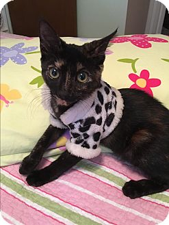 American Shorthair Kitten for adoption in Avon Park, Florida - Shirley